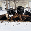 Cattle huddle together within Enid city limits after another winter storm produced over 4 inches on snow across northwest Oklahoma Tuesday, Feb. 11, 2014. (Staff Photo by BONNIE VCULEK)