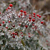 Ice covered berries after freezing rain moved across northwest Oklahoma Tuesday February 20, 2018. (Billy Hefton / Enid News & Eagle)