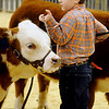 Livestock Beginning Hereford Show