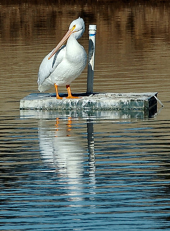 A pelican rest on a platform at Meadowlake Park Monday. (Staff Photo by BILLY HEFTON)