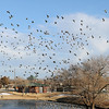 Thousands of Canada geese take flight from the lake at Meadowlake Park Wednesday, Jan. 8, 2014. (Staff Photo by BONNIE VCULEK)