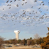 A new Enid water tower looms in the distance as thousands of Canada geese gather at Meadowlake Park Wednesday, Jan. 8, 2014. (Staff Photo by BONNIE VCULEK)
