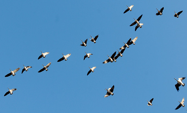 A gaggle of Canada geese fly over Meadowlake Park Wednesday, Jan. 8, 2014. (Staff Photo by BONNIE VCULEK)