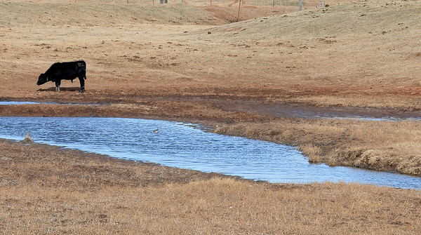 A young cow stands near the edge of a pond along 102nd St. Thursday. The Oklahoma Mesonet site near Breckinridge has recorded 0.04 inches of rain in Jaunary while the Lahoma site has recorded 0.02 inches. (Staff Photo by BILLY HEFTON)