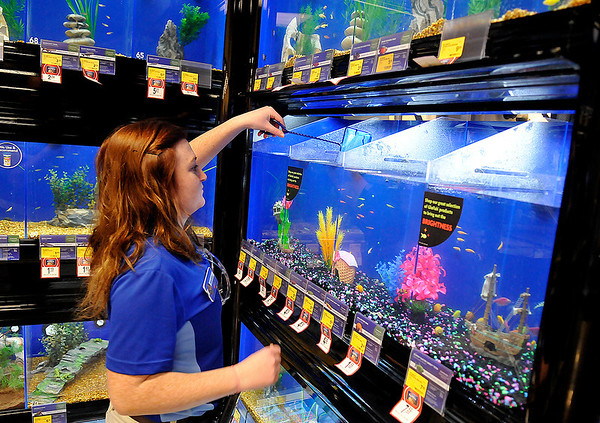 PetSmart employee, Stormie McDonald, catches a fish during the store's soft opening Monday. The store will hold it's grand opening Saturday January 18. (Staff Photo by BILLY HEFTON)