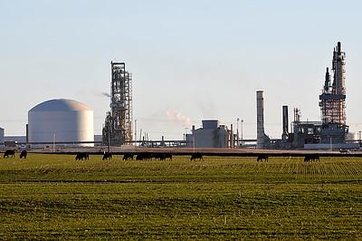 Cattle graze near the Koch Nitrogen plant east of Enid January 26, 2015. (Staff Photo by BILLY HEFTON)