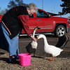 Ruby Slowik hand feeds corn to one of the boys, as she calls them, at Meadowlake Park Tuesday January 23, 2018. Slowik started feeding them last April and it took about two months before they would eat out of her hand. (Billy Hefton / Enid News & Eagle)
