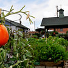 Rain drops cling to a tomato at the Hope Outreach Faith Farm Wednesday after the fourth day in a row with rain. Temperatures are forecast to climb into the mid 90's through the weekend. (Staff Photo by BILLY HEFTON)