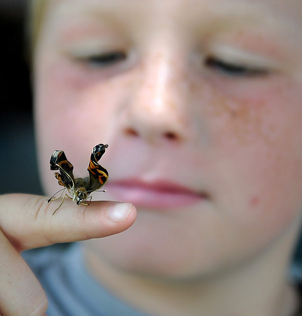 Sam Akin, an Enid Cub Scout from Pack 3, looks at one of three of his butterflies that he has raised through the caterpillar and cocoon stages as it begins to unfurl its wings Thursday, July 19, 2013. Akin, who has been in Cub Scouts for two years, received the caterpillars from his scout leader, Nathan Sullivan. (Staff Photo by BONNIE VCULEK)