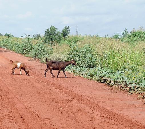 Adventurous goats cross muddy tracks on Wood Road Tuesday, July 30, 2013. (Staff Photo by BONNIE VCULEK)