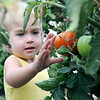 Holly Evatt, 2-year-old daughter of Becky and Kent Evatt, reaches for an Alaskan Fancy heirloom tomato as she visits Faith Farm with her mother Tuesday, July 2, 2013. Little Holly was thrilled to see blackberries, strawberries and tomatoes as she walked the garden pathways. (Staff Photo by BONNIE VCULEK)