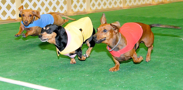 Mocha (center) leads as Charlie (far left) and Flash (right) near the finish line during the 4th annual Paws 4 the Cause 2013 Dachshund Dash Championship race at the Chisholm Trail Expo Center Coliseum Saturday, July 27, 2013. Mocha, owned by Gwen Hunt from Lawton, was the Grand Champion Dachshund, while Charlie, owned by Chad Preble from Norman, took Reserve Grand Champion honors during the photo finish finals. (Staff Photo by BONNIE VCULEK)