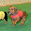 The 4th annual Paws 4 the Cause 2013 Dachshund Dash championship race (from left) Charlie, Mocha, Flash and Lucy Lou sprint to the finish line at the Chisholm Trail Coliseum Saturday, July 27, 2013. Mocha, owned by Gwen Hunt from Lawton, was the Grand Champion. (Staff Photo by BONNIE VCULEK)