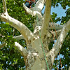 Grace Dewald (top center) climbs a giant sycamore tree on her twenty-first birthday at Government Springs Park Saturday, July 26, 2014. With the help of Jim Mitchell, from Professional Tree Care, Drew Dewald surprised his wife with the special birthday gift. (Staff Photo by BONNIE VCULEK)