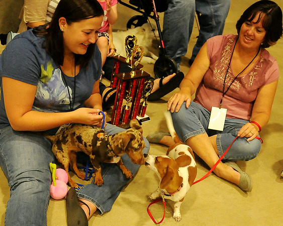 Kimber (left), a chocolate dapple owned by Jordann and Nathan Harris, and Belle, owned by Martin and Charla Good, play after Kimber's puppy championship win and Belle's reserve championship finish during the 5th annual Paws 4 the Cause Dachshund Dash at the Chisholm Trail Coliseum Saturday, July 19, 2014.  (Staff Photo by BONNIE VCULEK)