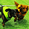 Little Miss Daisy (left) and Sheldon sprint to the Dachshund Dash finish line during the first quarter-final adult division final at Paws 4 the Cause in the Chisholm Trail Coliseum Saturday, July 19, 2014. Proceeds from the event benefit the Enid SPCA. (Staff Photo by BONNIE VCULEK)