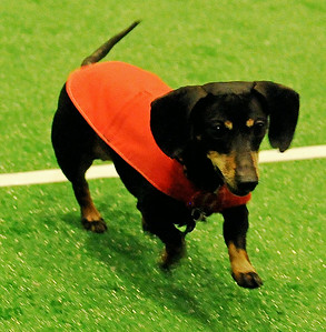 Marlo, owned by Whitney Hendricks, wins the adult division race 5 at the 5th annual Paws 4 the Cause Dachshund Dash at the Chisholm Trail Coliseum Saturday, July 19, 2014. Marlo finished third during the adult division championship finals. (Staff Photo by BONNIE VCULEK)
