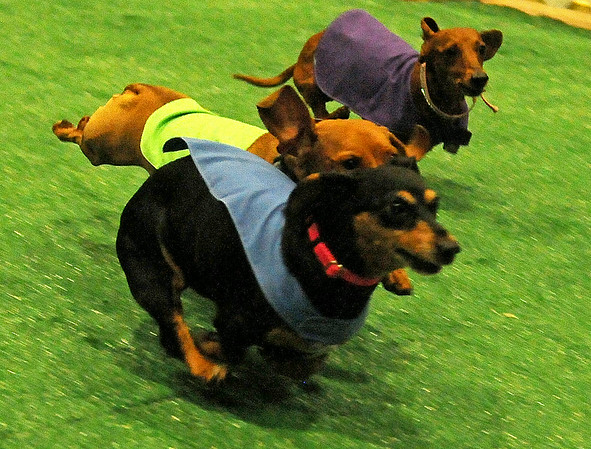 Mocha (front), Charlie (center) and Lucy Lou compete during the 5th annual Paws 4 the Cause Dachshund Dash adult division championship at the Chisholm Trail Coliseum Saturday, July 19, 2014. Mocha, owned by Gwen Hunt from Lawton, defended her title during the event that raises funds for the Enid SPCA. (Staff Photo by BONNIE VCULEK)