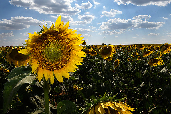A field of sunflowers in bloom south of Drummond Thursday July 20, 2017. (Billy Hefton / Enid News & Eagle)