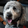 Wally, a golden doodle therapy dog from Sit Means Sit Dog Training, was presented to  Chisholm Elementary during a small ceremony at the school. (Billy Hefton / Enid News & Eagle)