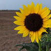 A wild sunflower blooms on the roadside of Wheat Ridge Monday, July 20, 2020. (Billy Hefton / Enid News & Eagle)