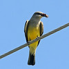 A bird eats a snack as it chirps on a wire along Rupe by Meadowlake Park Friday, June 14, 2013. (Staff Photo by BONNIE VCULEK)