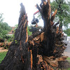 A fallen American Elm covers the 500 block of Maine in front of First Presbyterian Church as City of Enid employees remove the debris after lightning struck the massive tree during a severe thunderstorm early Wednesday, June 5, 2013. (Staff Photo by BONNIE VCULEK)