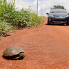 """A """"slow, but sure"""" turtle ventures across a rural county road Tuesday, June 18, 2013. (Staff Photo by BONNIE VCULEK)"""