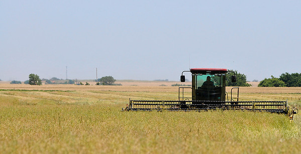 A canola field is cut south of Drummond Monday. (Staff Photo by BILLY HEFTON)