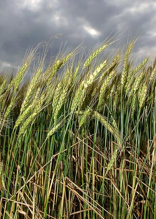 A wheat field east of Enid under darkening clouds. (Staff Photo by BILLY HEFTON)