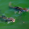 Two-year-old catfish synchronize swim as they surface for food at the Alvarado Ranch during the Master Gardeners of Enid Garden Show Saturday, June 1, 2013. (Staff Photo by BONNIE VCULEK)