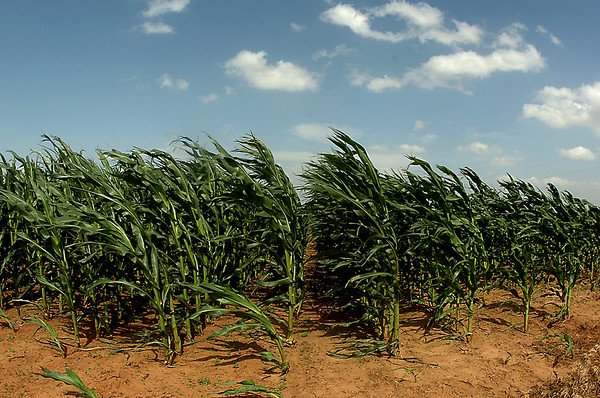 A corn field along Phillips Rd. bends to the wind Monday. (Staff Photo by BILLY HEFTON)