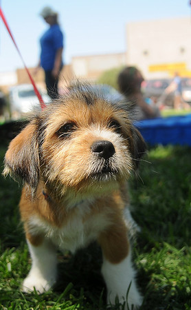 Okie Dokie, owned by Charlotte Culver, enjoys the sights and sounds at Downtown Dogfest on the Garfield County Courthouse lawn Saturday, June 14, 2014. (Staff Photo by BONNIE VCULEK)