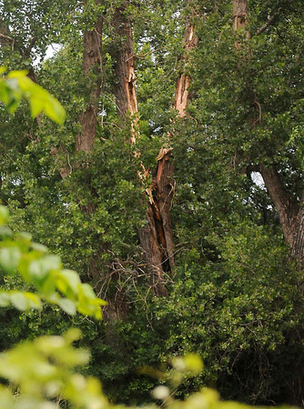 Large cottonwood trees on E. Skeleton Road show the marks of a lightning strike Friday, June 6, 2014. (Staff Photo by BONNIE VCULEK)