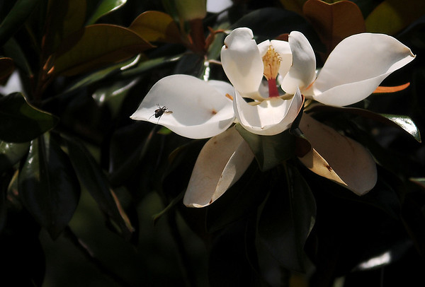 A wasp lands on a Magnolia flower at St. Matthew's Episcopal Church Tuesday, June 10, 2014. (Staff Photo by BONNIE VCULEK)