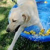 Tess, a 12-month-old labrador retriever, sprints through a wading pool during Downtown Dogfest on the Garfield County Courthouse lawn Saturday, June 14, 2014. (Staff Photo by BONNIE VCULEK)