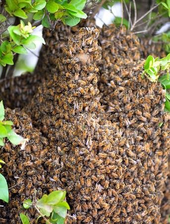 Bees swarm a large shrub on E. Randolph Wednesday, June 17, 2015. (Staff Photo by BONNIE VCULEK)