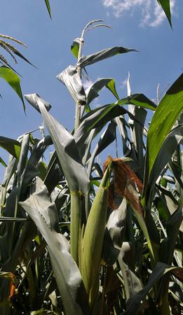 Ears of corn appear in a field northeast of Waukomis Wednesday, June 24, 2015. (Staff Photo by BONNIE VCULEK)