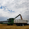 A combine empties grain into a truck at a field on the southwest corner of U.S. 81 and Carrier Road Thursday June 8, 2017. (Billy Hefton / Enid News & Eagle)