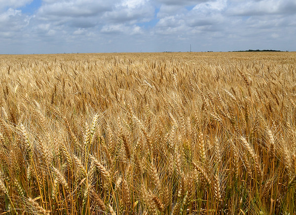 Wheat field south of Waukomis waiting to be harvested Tuesday, June 8, 2021. (Billy Hefton / Endi News & Eagle)