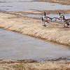 Canada geese explore the mud volleyball courts near the Chisholm Trail Expo Center Friday, March 1, 2013. (Staff Photo by BONNIE VCULEK)