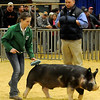 Tyler Egnall, the swine judge for the Northwest District Junior Livestock Show, watches Mady Swart drive her Champion Berkshire around the show ring at the Chisholm Trail Expo Center Saturday, March 9, 2013. Swart, a member of the Ringwood 4-H Club, will show her animal in the annual premium sale Monday. (Staff Photo by BONNIE VCULEK)