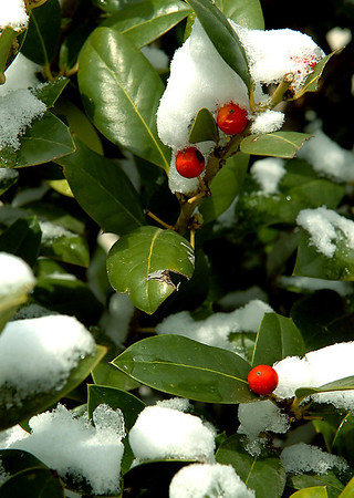 Snow clings to a holly shrub Sunday after a spring snow storm moved through northern Oklahoma. (Staff Photo by BILLY HEFTON)