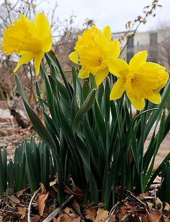 Daffodils blooming at Dillingham Garden give hope that is spring is near. The National Weather Service is forecasting high temperatures in the 70's by the end of the week. (Staff Photo by BILLY HEFTON)