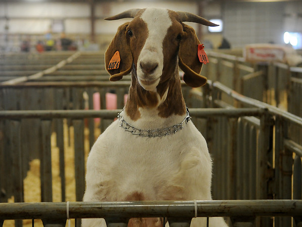 An inquisitive goat peers over his pin as he uses his front feet and his feed pan for a better view of his surroundings during the Northwest District Junior Livestock Show Thursday, March 7, 2013. (Staff Photo by BONNIE VCULEK)