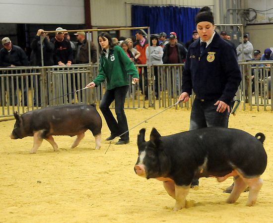 Exhibitors drive their Berkshire first place class winners around the show ring during the championship judging at the Northwest District Junior Livestock Show in the Chisholm Trail Expo Center Saturday, March 9, 2013. (Staff Photo by BONNIE VCULEK)