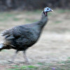 A wild turkey scurries across a pasture near Enid Monday, March 18, 2013. (Staff Photo by BONNIE VCULEK)