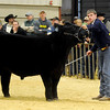 Colton DeMuth, from the Blackwell FFA chapter, exhibits his cross-bred steer during the Northwest District Junior Livestock Show at the Chisholm Trail Expo Center Friday, March 8, 2013. Kevin Jensen selected DeMuth's steer as the Grand Champion. DeMuth has been showing since the age of 9. (Staff Photo by BONNIE VCULEK)