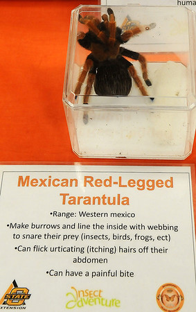 Mexican Red-Legged Tarantula (Staff Photo by BONNIE VCULEK)