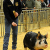 Colton Wichert, with Chisholm FFA, shows his Berkshire barrow during the Northwest District Junior Livestock Show Saturday, March 8, 2014. (Staff Photo by BONNIE VCULEK)